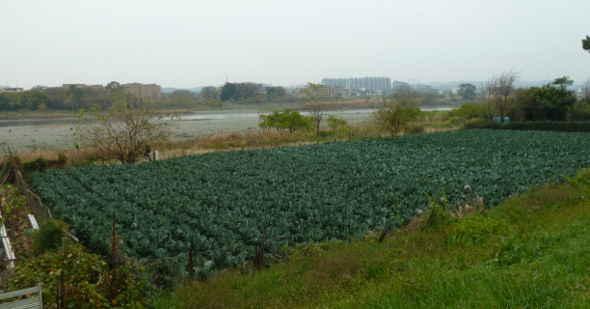河川敷の野菜畑は誰のもの 手入れが行き届いた河川敷の野菜畑。誰が作っているのでしょうか? 多摩川